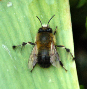drone-bee